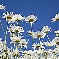 Daisies by Craig Tuttle