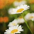 Daisies by Darren Fisher
