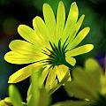 Daisy A Different Look by Bill Dodsworth