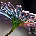Daisy Abstract With Droplets by Kaye Menner