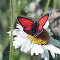 Daisy And Butterfly by Patrick Kessler