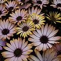 Daisy Beauty by Pamela Roberts-Aue