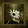 Daisy by Bonnie Bruno