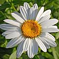 Daisy by David  Brown