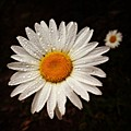 Daisy Dew by Steve Garfield