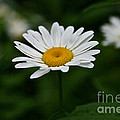 Daisy Duo by Susan Herber