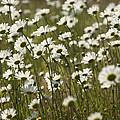 Daisy Fields Forever - Alabama Wildflowers by Kathy Clark