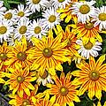 Daisy Garden by Mark Sellers
