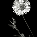 Daisy In Black And White by Endre Balogh
