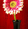 Daisy In Black Vase by Garry Gay