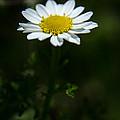 Daisy In Full Growth by Michael Goyberg