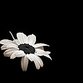 Daisy In The Dark by Bill Pevlor