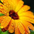 Daisy In The Rain by Thomas R Fletcher