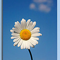 Daisy In The Sky by Cindy Haggerty