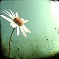Daisy by Marianna Mills