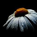 Daisy Morning  by Kyle Gray