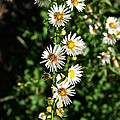 Daisy Production Line by Susan Herber