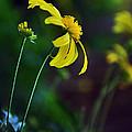 Daisy Profile by Kaye Menner