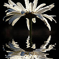 Daisy Reflection by Jean Noren