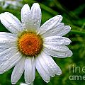 Daisy Shower by Kevin Fortier