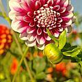Dalhia In Bloom  by Jeff Swan