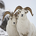 Dall Sheep Ovis Dalli Rams, Yukon by Michael Quinton