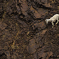 Dall Sheep Were Is Very Adapt by Michael S. Quinton