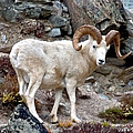 Dall's Sheep by David Salter