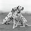 Dalmatians by Tadas Kazakevicius Copyrigted