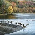 Dam Geese by Chuck Ferrara