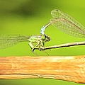 Damselflies by Michelle Cassella