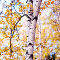 Dancing Birches by Jenny Rainbow