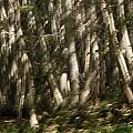 Dancing Birches by Susan Capuano
