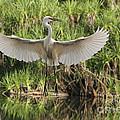 Dancing Egret by Brian Gunter