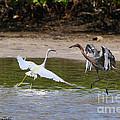 Dancing Egrets by Barbara Bowen