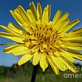 Dandelion by Christine Stack