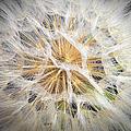 Dandelion by Endre Balogh