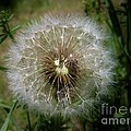 Dandelion Going To Seed by Sherman Perry