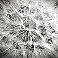 Dandelion In Black And White by Endre Balogh