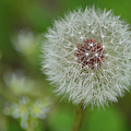 Dandelion Macro by Sandi OReilly