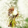 Dandelion No2 by Falko Follert