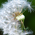 Dandelion Seeds by Optical Playground By MP Ray