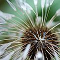 Dandelion Tears by Paul Ward