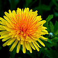 Dandy Among Daisies by Bill Pevlor