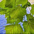 Dangling Leaves by Deborah Benoit