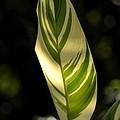 Dappled Ginger Leaf by Maria Urso
