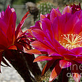 Dark Pink Cactus Flowers by Jim And Emily Bush