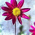 Dark Pink Dahlia On Blue by Carol Leigh