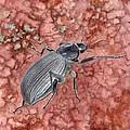 Darkling Beetle by Inger Hutton