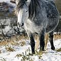 Dartmoor Pony by Adrian Bicker